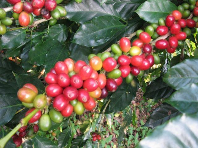 Cultivo de Cafe en Tlatlahuquitepec